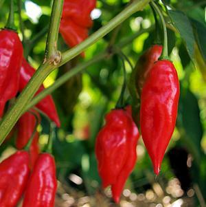 Pepper 'Hot Pepper Lantern'-#1 Container<br/>Hot Pepper Lantern Hot Pepper