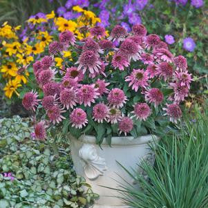 Echinacea purpurea Butterfly Kisses-8`` Container<br/>Butterfly Kisses Coneflower