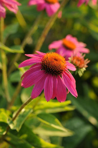 Echinacea purpurea 'Pow Wow® Wildberry'-#1 Container<br/>Pow Wow® Wildberry Coneflower