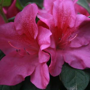 Rhododendron (Azalea) X Bloom-A-Thon® 'Lavender'-#2 Container<br/>Bloom-A-Thon® Lavender Reblooming Azalea