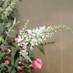 Buddleia 'Inspired&#8482; White'-#3 Container<br/>Inspired&#8482; White Butterfly Bush