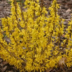 Forsythia Show Off&#174;'Sugar Baby'-#2 Container<br/>Show Off&#174; Sugar Baby Forsythia