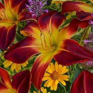 Hemerocallis Rainbow Rhythm&#174; 'Ruby Spider'-#2 Container<br/>Rainbow Rhythm&#174; Ruby Spider Daylily