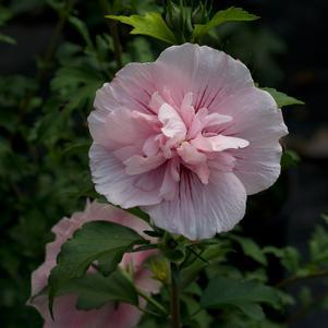 Hibiscus syriacus 'Pink Chiffon' -#3 Container<br/>Pink Chiffon™ Rose of Sharon