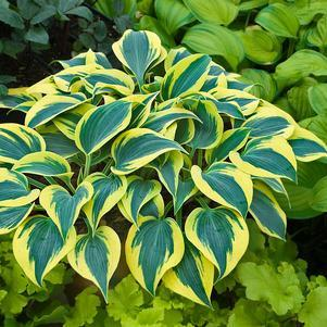 Hosta Shadowland&#8482;  'Autumn Frost'-#1 Container<br/>Shadowland&#8482; Autumn Frost Hosta
