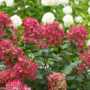 Hydrangea paniculata 'Fire Light' -#3 Container<br/>Fire Light&#8482; Panicle Hydrangea