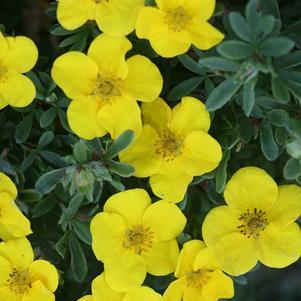 Potentilla 'Happy Face Yellow-#2 Container<br/>Happy Face? Cinquefoil