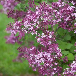 Syringa X Bloomerang' Dark Purple'-#2 Container<br/>Dark Purple Bloomerang Lilac