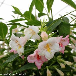Weigela Sonic Bloom 'Pearl'-#3 Container<br/>Sonic Bloom™ Pearl Weigela