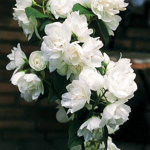 Philadelphus 'Snow White' -#3 Container<br/>Snow White™ Mockorange