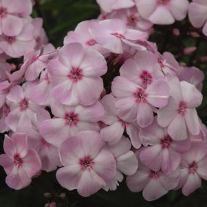 Phlox paniculata 'Cotton Candy' -#2 Container<br/>Cotton Candy&#8482; Garden Phlox