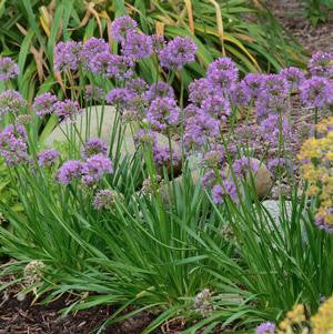 Allium 'Millenium'-8`` Container<br/>Millenium Flowering Onion
