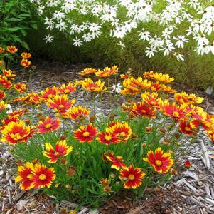Coreopsis Lil' Bang 'Daybreak'-8`` Container<br/>Daybreak Tickseed