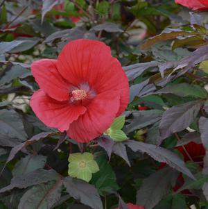 Hibiscus 'Midnight Marvel'-#3 Container<br/>Midnight Marvel Rose Mallow