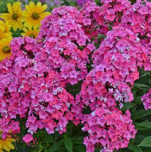 Phlox paniculata 'Glamour Girl'-8`` Container<br/>Glamour Girl Garden Phlox