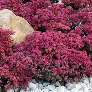 Sedum Sunsparkler 'Dazzelberry'-8`` Container<br/>Dazzelberry Stonecrop