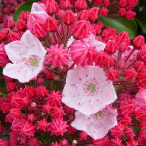 Kalmia latifolia 'Olympic Fire'-#5 Container<br/>Olympic Fire Mountain Laurel