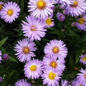 Aster novi-belgii 'Daydream'-#2 Container<br/>Daydream Aster