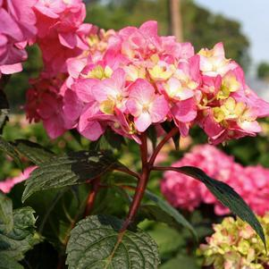 Hydrangea macrophylla 'Bloomstruck'-#3 Container<br/>Bloomstruck Endless Summer Hydrangea
