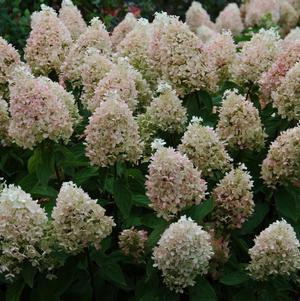 Hydrangea paniculata 'Sweet Summer'-#3 Container<br/>Sweet Summer Panicle Hydrangea
