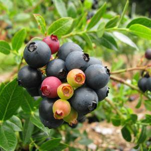 Vaccinium 'Blueberry Glaze'-#2 Container<br/>Blueberry Glaze Blueberry