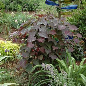 Cercis canadensis 'Ruby Falls'-#7 Container<br/>Ruby Falls Eastern Redbud