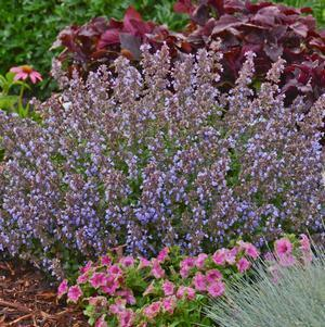 Nepeta X faassenii 'Purrsian Blue'-#1 Container<br/>Purrsian Blue Catmint