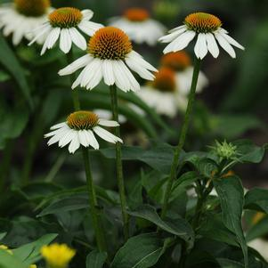 Echinacea purpurea 'Pow Wow® White'-#2 Container<br/>Pow Wow® White Coneflower