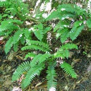 Polystichum acrostichoides-#1 Container<br/>Christmas Fern