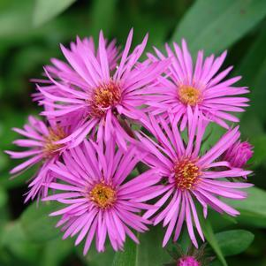 Aster novae-angliae 'Vibrant Dome'-#2 Container<br/>Vibrant Dome New England Aster