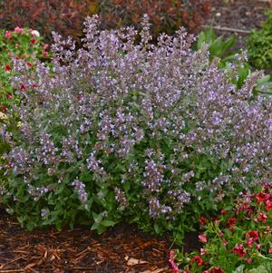Nepeta faaseenii 'Cats Meow'-#1 Container<br/>Cat's Meow Catmint