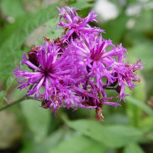Vernonia noveboracensis-#2 Container<br/>New York Ironweed