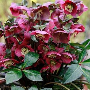 Hellebore Or Lenton Rose 'Anna'S Red' - 8 In.
