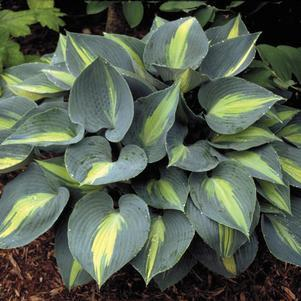 Hosta 'Touch Of Class'-8`` Container<br/>Touch of Class Hosta