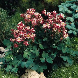 Aquilegia vulgaris 'Winky Red & White'-#1 Container<br/>Winky Red & White