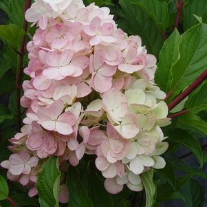 Hydrangea paniculata 'Vanilla Strawberry' - Tree Form-#7 Container<br/>Vanilla Strawberry™ Panicle Hydrangea - Tree