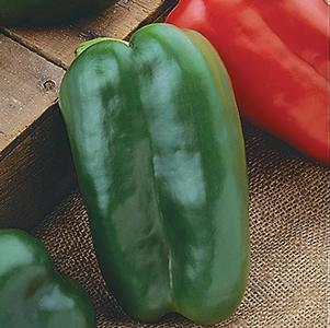 Pepper 'Big Bertha'-#1 Container<br/>Big Bertha Sweet Pepper