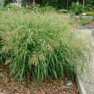 Panicum virgatum 'Cape Breeze'-#1 Container<br/>Cape Breeze Switchgrass