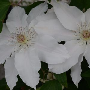 Clematis 'Hyde Hill' -8`` Container<br/>Hyde Hill Clematis