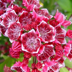 Kalmia latifolia 'Keepsake'-#2 Container<br/>Keepsake Mountain Laurel