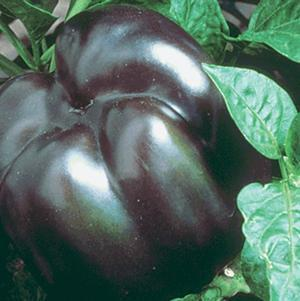Pepper 'Purple Beauty'-#1 Container<br/>Purple Beauty Bell Pepper