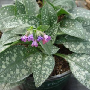Pulmonaria 'Majeste'-8`` Container<br/>Majeste Lungwort
