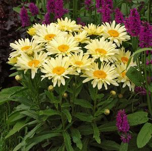 Leucanthemum Amazing Daisies  'Banana Cream'-#1 Container<br/>Banana Cream Shasta Daisy