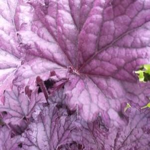 Heuchera 'Forever Purple'-8`` Container<br/>Forever Purple Coral Bells