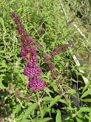 Buddleia davidii 'Black Knight'-#3 Container<br/>Black Knight Butterfly Bush