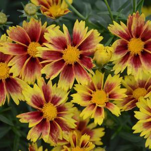 Coreopsis 'Enchanted Eve'-#1 Container<br/>Li'l Bang™ Enchanted Eve Tickseed