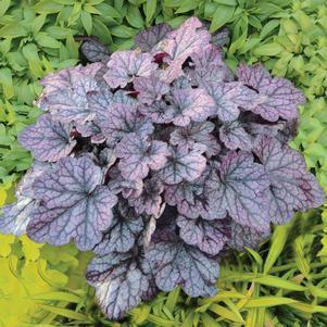 Heuchera 'Grape Expectations'-#1 Container<br/>Grape Expectations Coral Bells