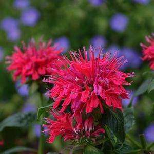 Monarda didyma Sugar Buzz 'Cherry Pops'-#2 Container<br/>Cherry Pops Bee Balm
