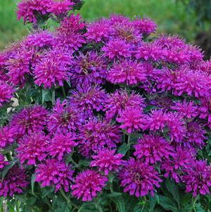 Monarda didyma Sugar Buzz 'Grape Gumball'-#2 Container<br/>Grape Gumball Bee Balm