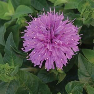 Monarda didyma Sugar Buzz 'Lilac Lollipop'-#2 Container<br/>Lilac Lollipop Bee Balm
